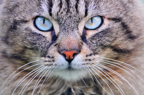 Cat with turquoise eyes | by Tambako the Jaguar