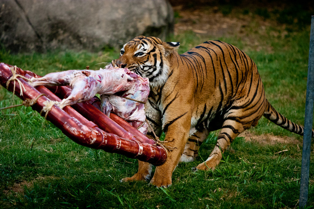 Tigers Eat Goat Malayan Tiger Eating a