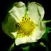 Fragaria vesca (Rosaceae)