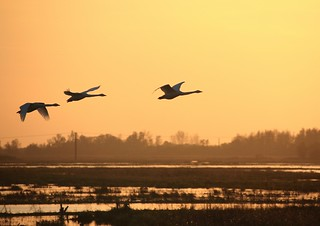 Whooper Swans | by nickpix2012