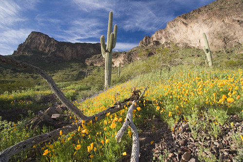 Picacho Peak Poppies