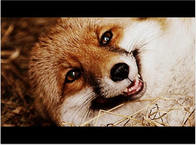 The Smiling Fox by *thrumyeye on deviantART by IceCoffeeCream | WHI