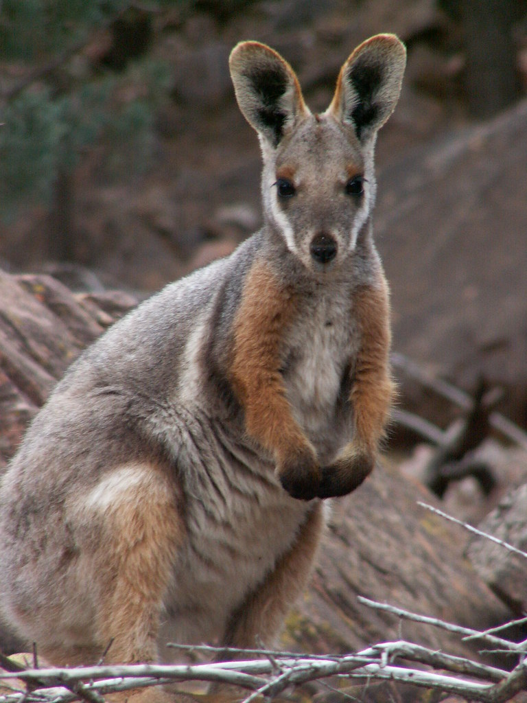 Yellow Footed Rock Wallaby Bookabee Tours Australia