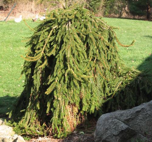 Weeping Norway Spruce Picea Abies Pendula Growing