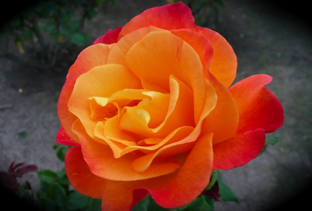 the most beautiful orange rose ever... | yes, i said it ...