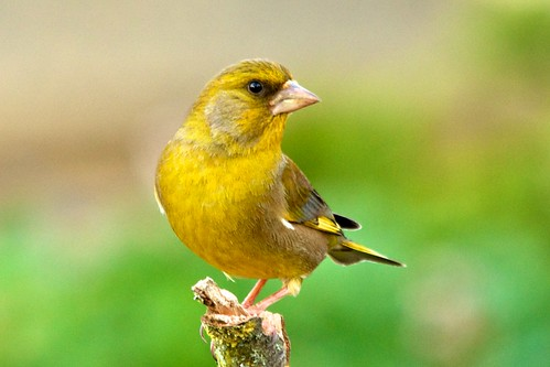 Greenfinch | by stanley.ashbourne