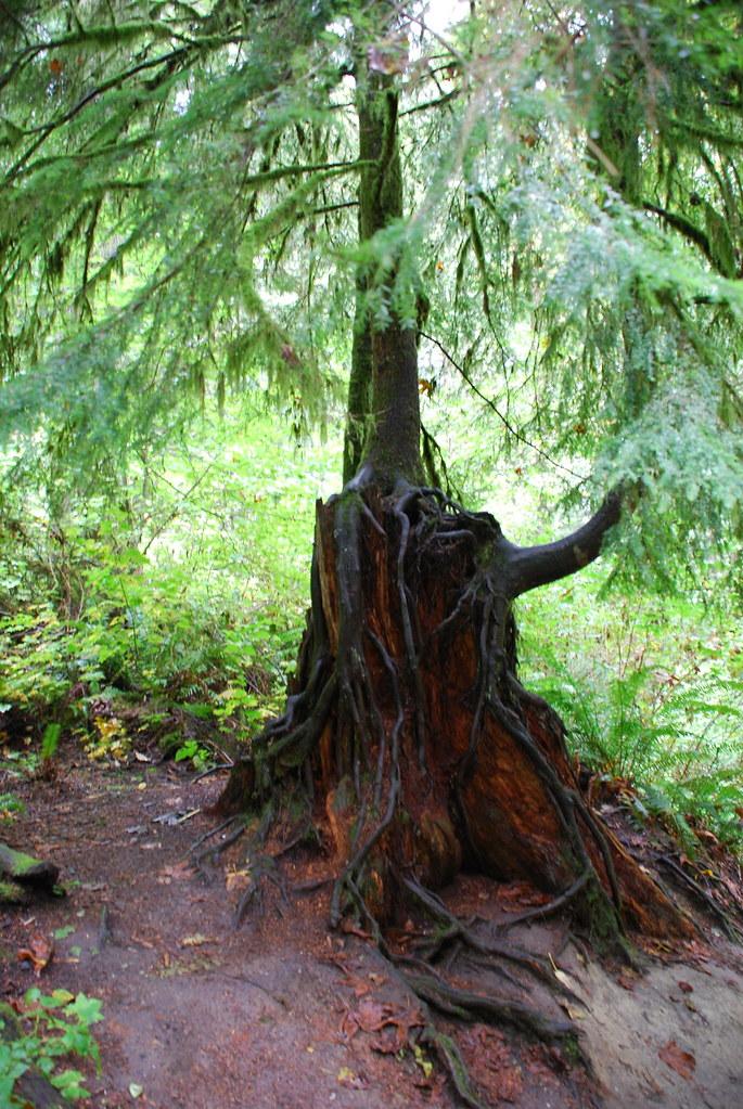Pacific Northwest Tree Octopus   Snoqualmie Falls, WA I actu…   Flickr