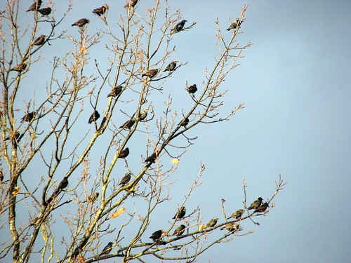 starlings | by Krista M (Balance Photography)