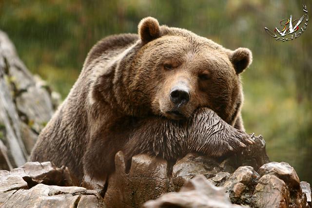 Русский медведь обои на рабочий стол