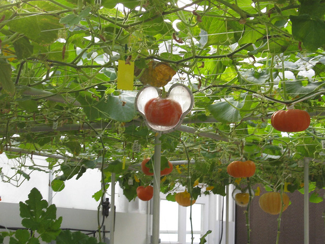 How To Grow Cinderella Pumpkins Living With The Land