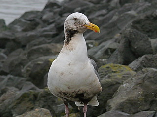 San Francisco Oil Spill - Partially Oiled Gull | by Ingrid Taylar
