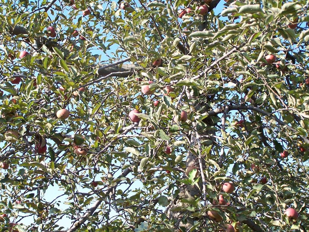 Stribling Orchard Apple Cake Recipe