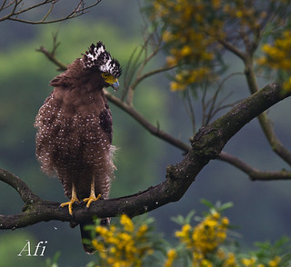 Serpent Eagle | by Afi Chen