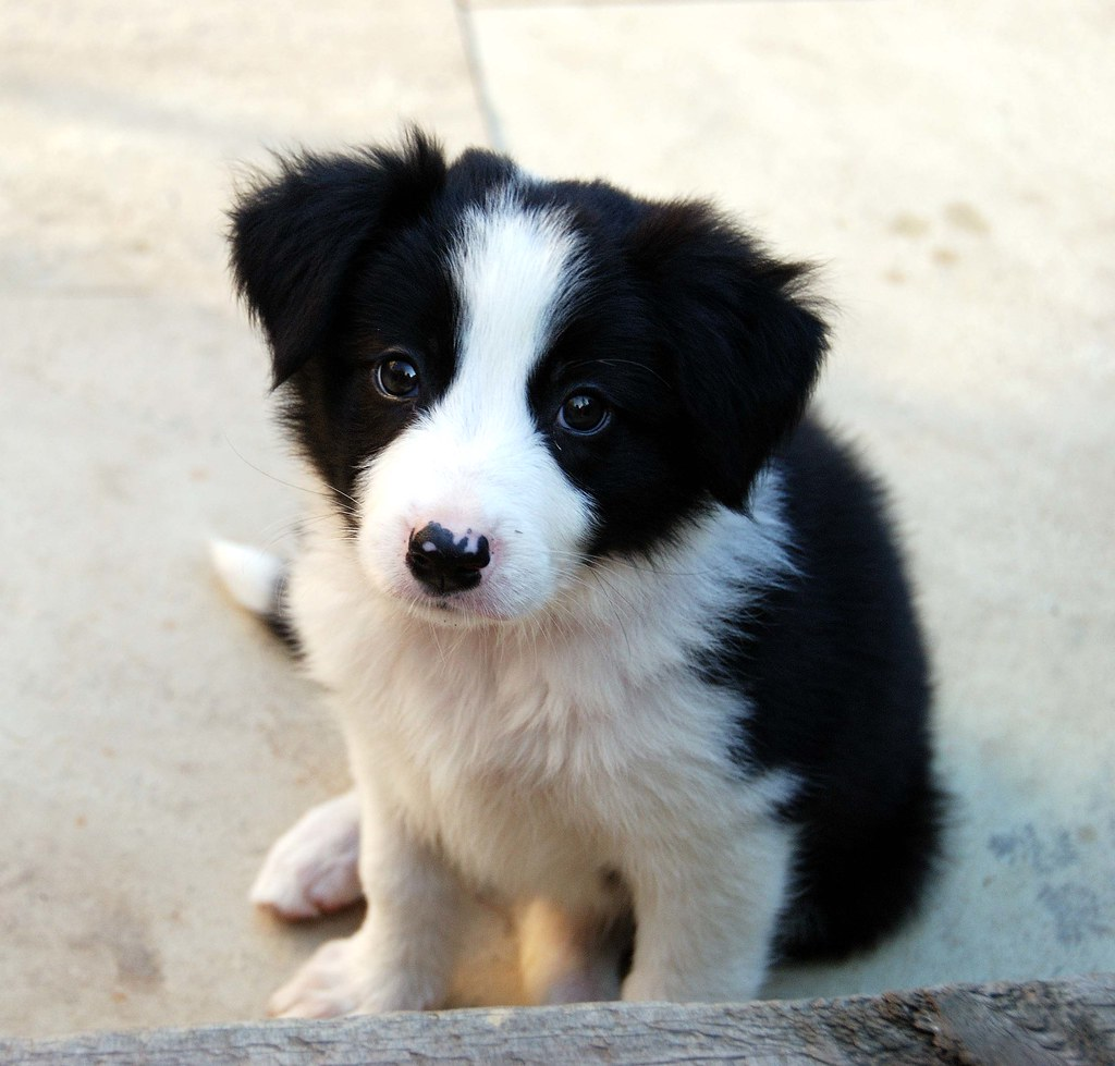 Knitting Pattern For Border Collie Dog : Jess, our border collie puppy sals_r Flickr