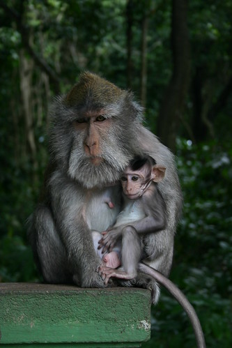 Monkey of the Monkey Forest Temple, Ubud - Bali 2 | by D.Meutia