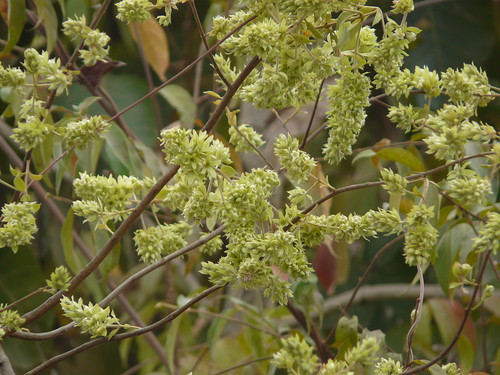 Jhaal marathi combretaceae rangoon creeper for Terrace meaning in tamil