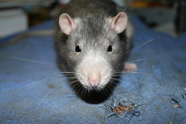 Rat Face Jpg Flickr Photo Sharing