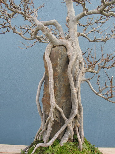 Acer buergerianum  Root over Rock | by Brooklyn Botanic Garden