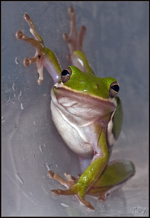 Green Treefrog - Official State Amphibian of Georgia | by Roy Cohutta