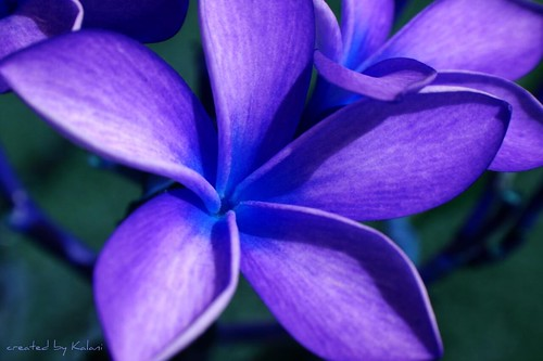 blue plumeria flower images - reverse search