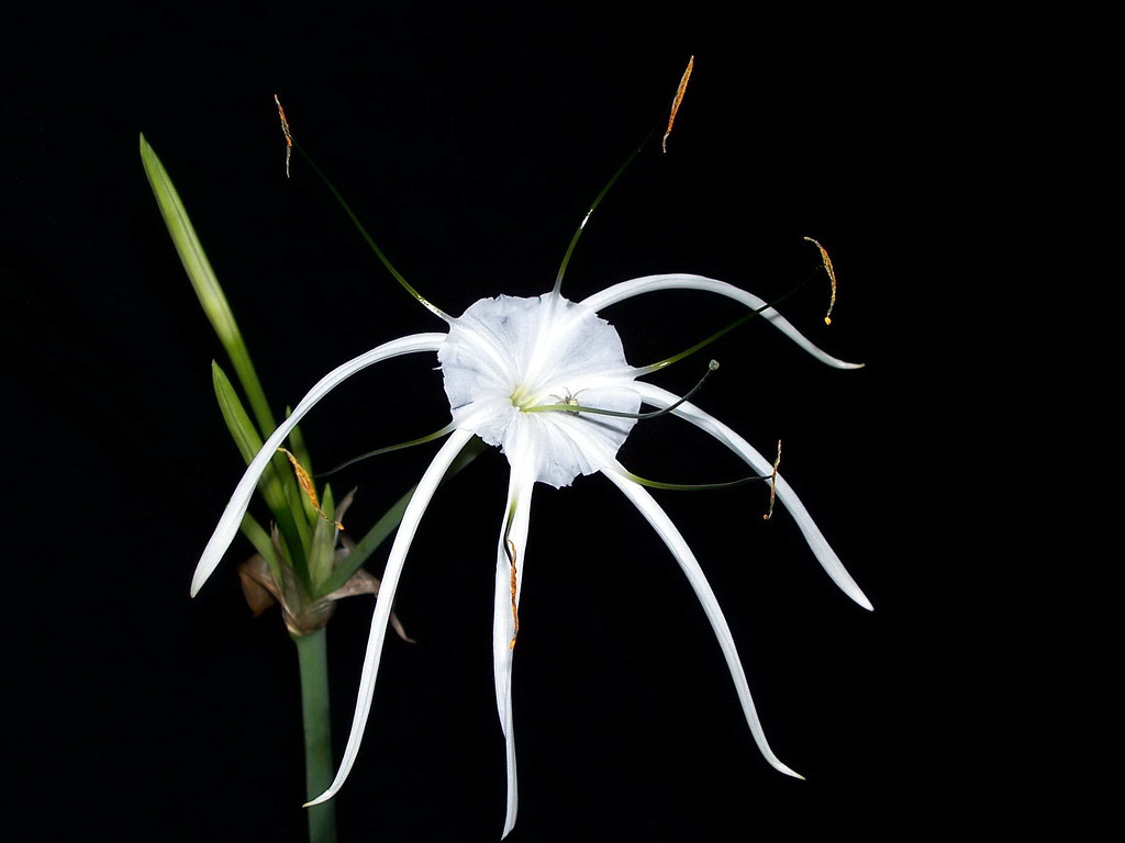 White spider flower on black background i honestly did not flickr white spider flower on black background by dagsdownunder mightylinksfo