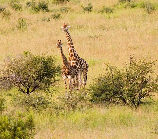 How Do Giraffes Mate
