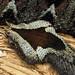 bitis nasicornis, atlanta zoo, atlanta, fulton county, georgia 2