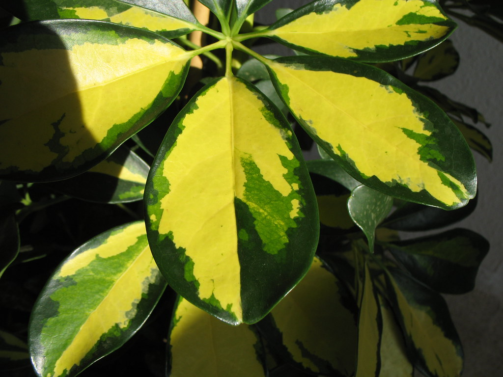 schefflera arboricola variegata treespecies flickr