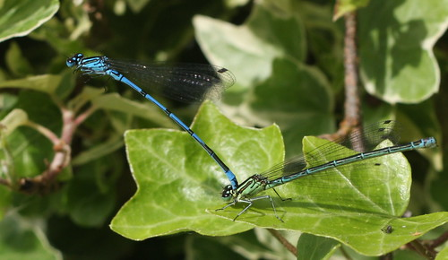 Azure Damselflies (probably) | by barnoid