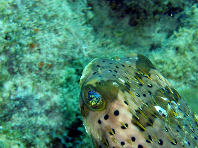 Porcupine puffer 3 a porcupine puffer fish the caves for Puffer fish florida
