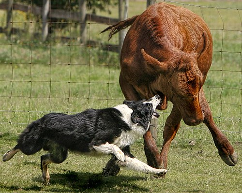 Australian Shepherd And Cattle This Aussie Is Tough