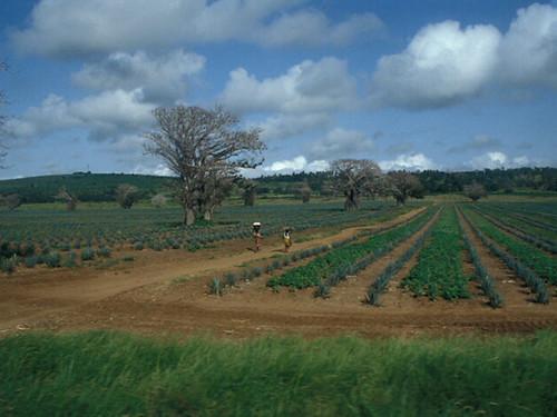 Agavaceae agave du mexique cette photo a t prise en ju flickr - Agave du mexique ...