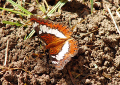 018. Butterfly mudd puddling - Commander (Karonjia)