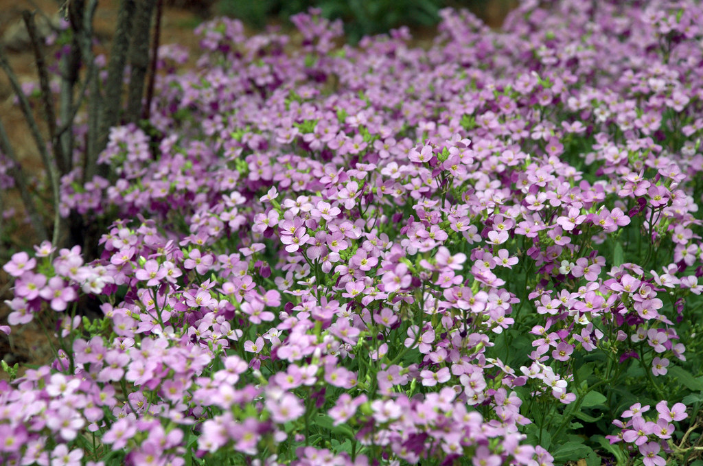 Flowering Ground Cover At The Barnes Foundation Flickr