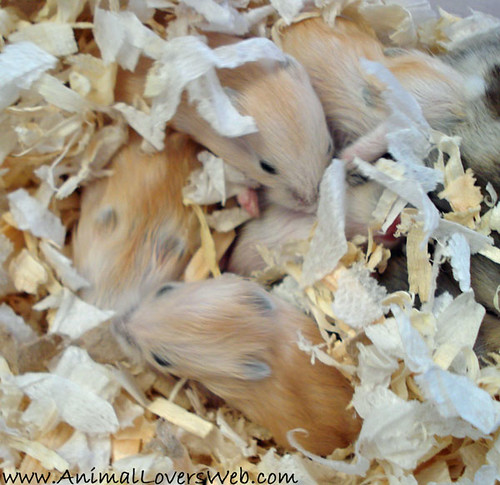 Baby Hamsters Sleeping | Our baby dwarf Hamsters mostly the … | Flickr