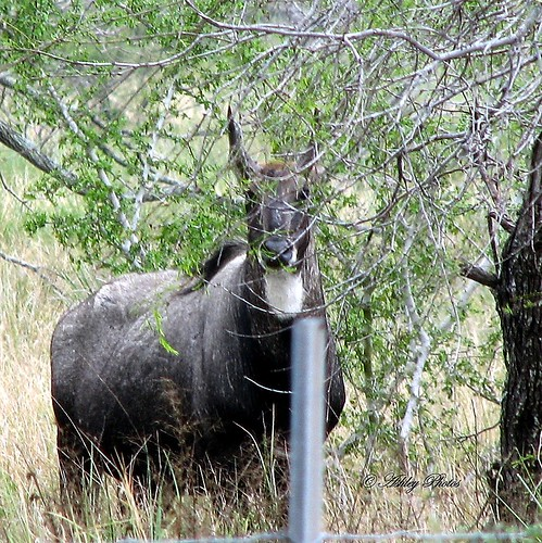 Nilgai | by BlueEyes5