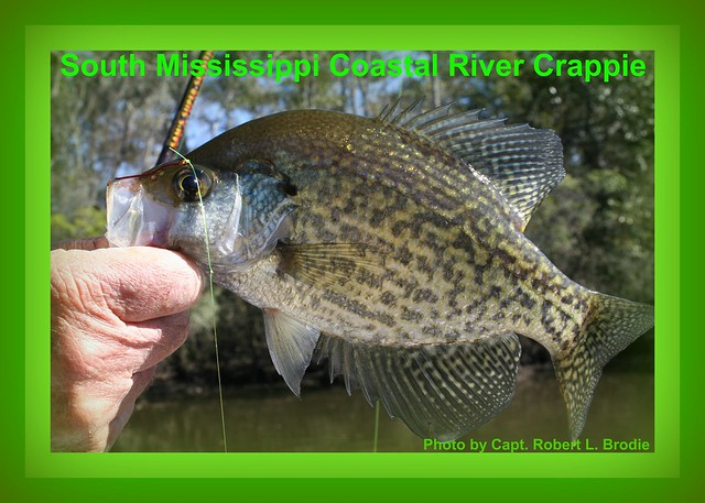 A beautiful south mississippi crappie photo by capt for Crappie fishing in mississippi