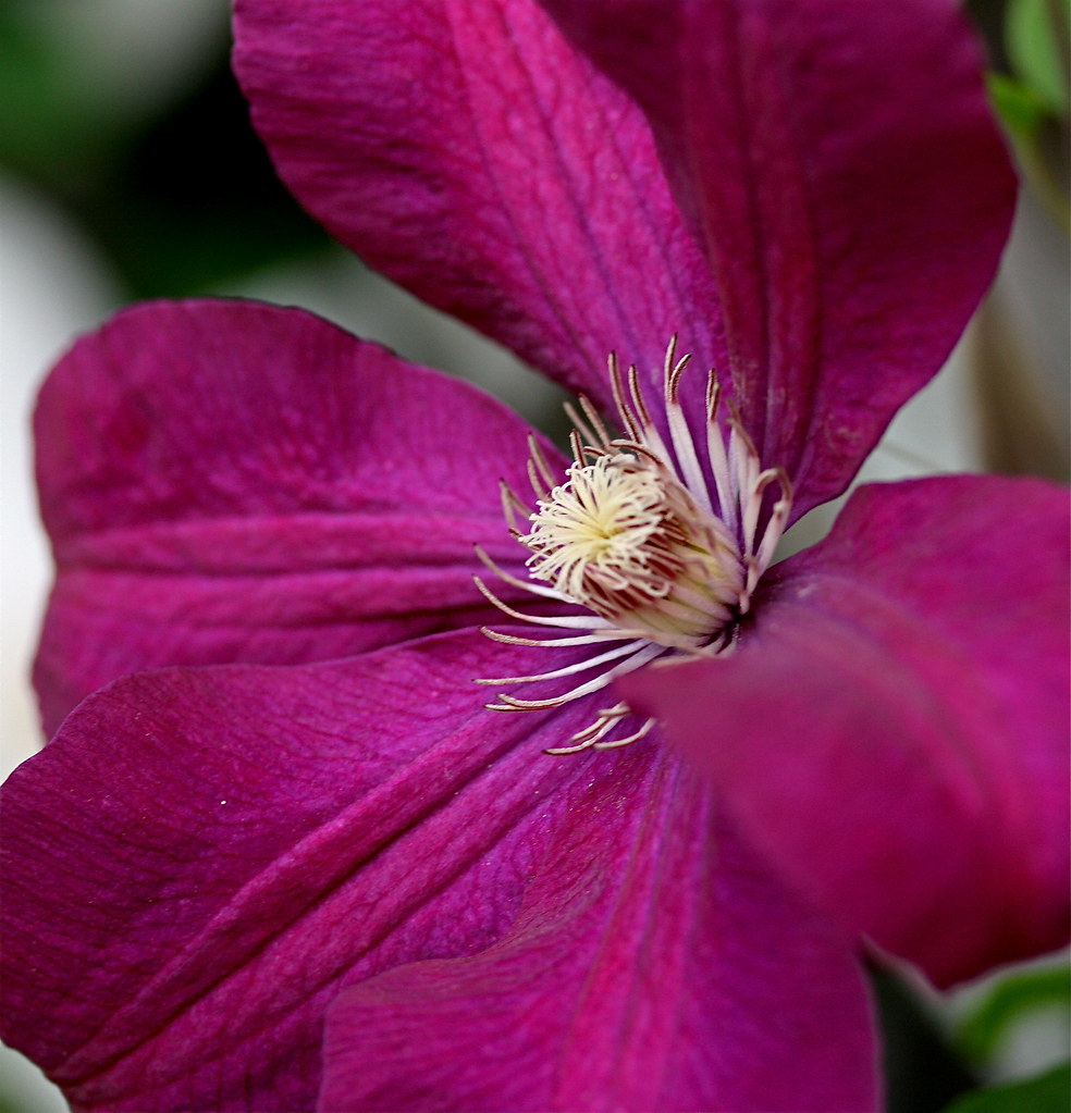 clematis clematis 39 rouge cardinal 39 jane flickr. Black Bedroom Furniture Sets. Home Design Ideas