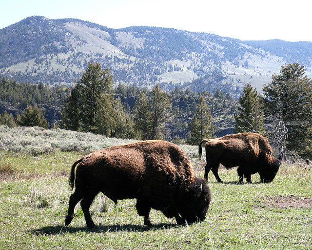 two bison at Yellowstone