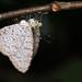 Allotinus horsfieldi butterfly DSC_8778