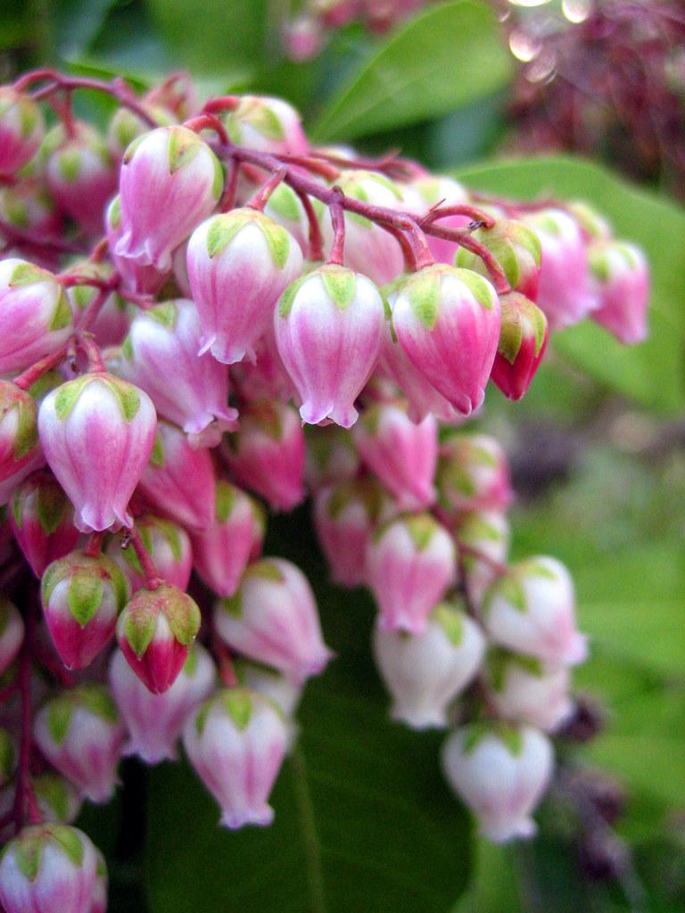 Pink bell flower akebono asebi i love pink flower pink bell flower akebono asebi by kkeiko mightylinksfo