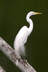 Great White Egret (Egretta alba) | by Rictor Norton & David Allen