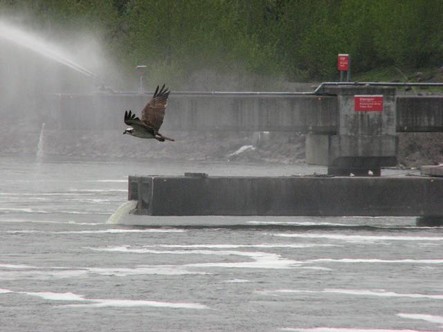 Bonneville osprey an osprey fishing below bonneville dam for Bonneville dam fish camera