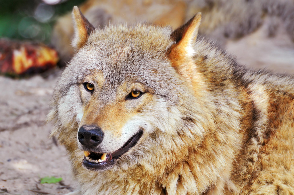 Portrait of a lying wolf 2 | Portrait of a cute fluffy ...  Portrait of a l...