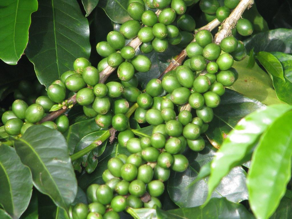 Resultado de imagen de cafe verde