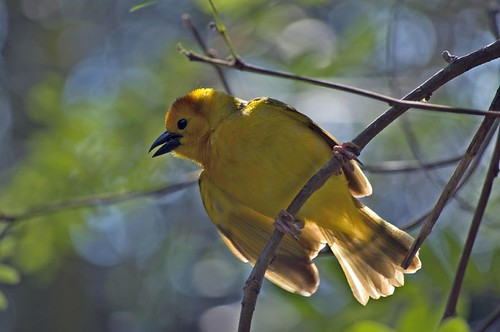 Yellow Bird | by Brian Marshall