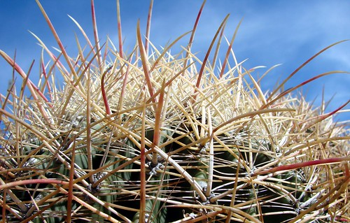 Barrel cactus spines | by Martin LaBar (going on hiatus)