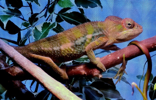 Recent Photos The Commons 20under20 Galleries World Map App Garden    Baby Ambilobe Panther Chameleon