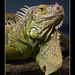 Iguana (Leguan)