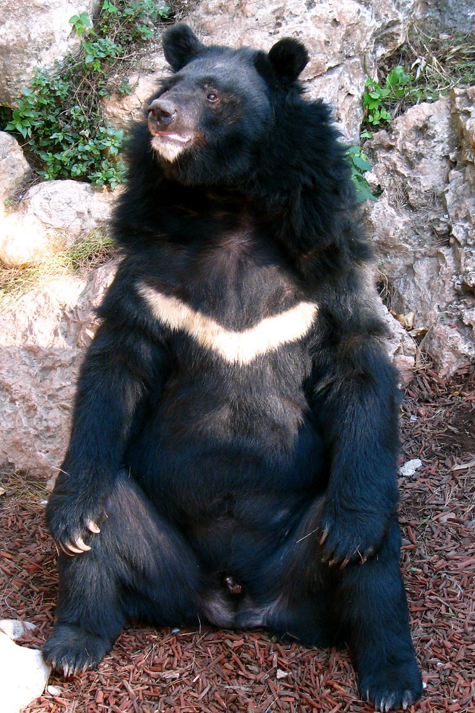Would probably dance for food | An Asiatic Black Bear ...